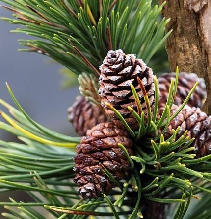 Heilpflanzen-Latschenkiefer (Pinus pumilio)